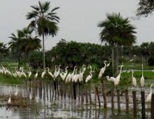 Lista de aves del Estado Guárico
